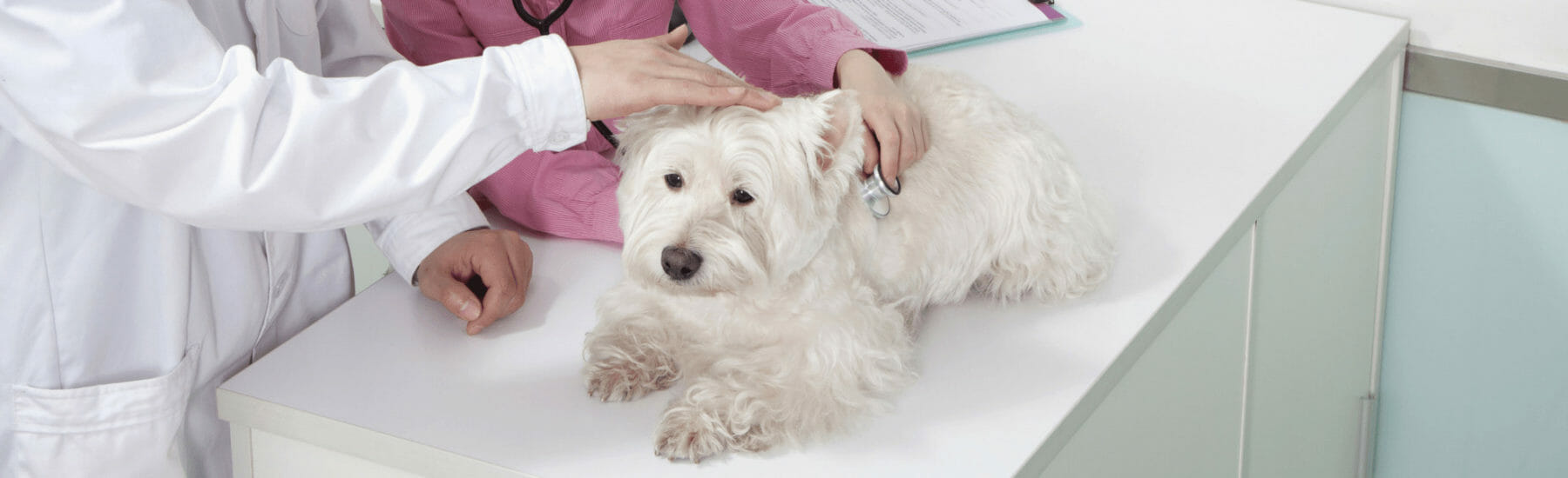 A dog being examined with a stethoscope