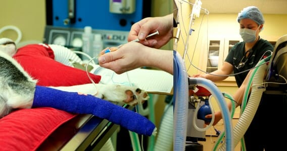 A dog being placed on intravenous fluids and undergoing a procedure requiring anesthesia
