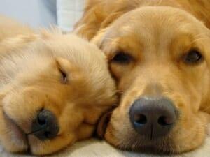 A sleeping puppy lying beside an awake dog