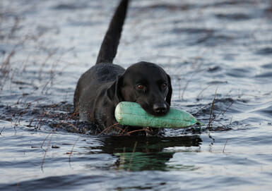 A dog walking in water with a toy in its mouth