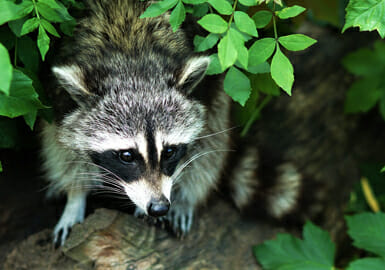 A raccoon under a tree