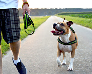 A dog wearing a harness and walking beside a person holding the unattached leash