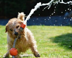 A dog biting a hose spraying water