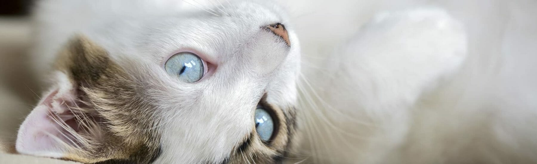 White cat lying on its back