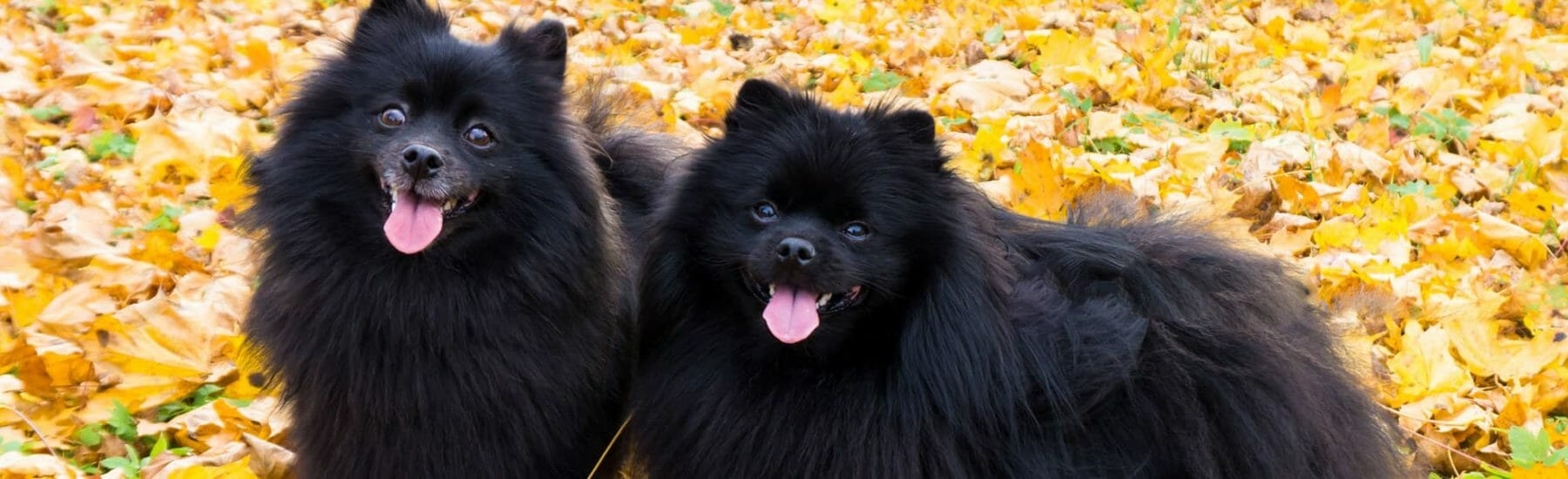 Two black dogs standing on leaves