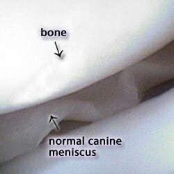 Arthroscopic view of canine meniscus with arrows pointing at the bone and normal canine meniscus