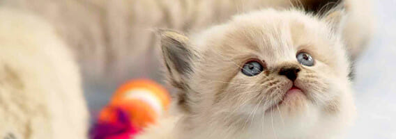 Cute white kitten with blue eyes looking up