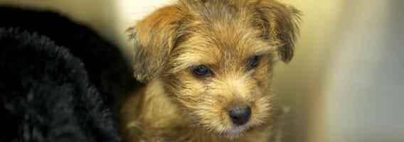 Cute brown puppy looking down