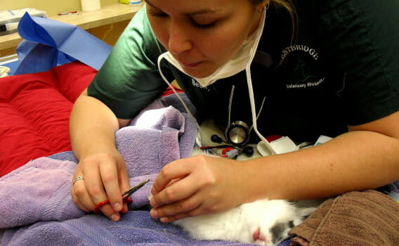 Veterinary staff member trimming the nails of a cat