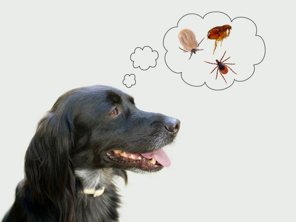 Dog thinking about ticks and fleas